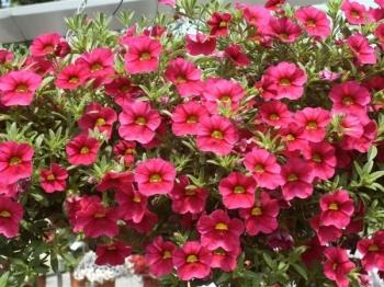Hoa dạ yến thảo 06